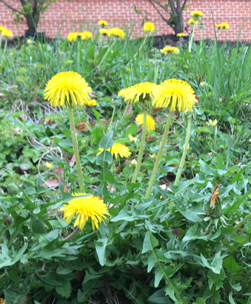 Yellow flowers of the dandelion in fore and mid ground. Brick wall in background.